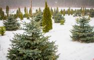 Несколько секретов от специалистов, как выбрать хорошую елку на Новый год