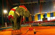 В Германии цирковой слон убил человека