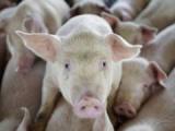 У ошмянского фермера забрали и убили 600 свиней
