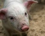 Беларусь разрешила транзит литовской свинины