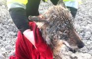 Эстонцы спасли из ледяной реки собаку, которая оказалась волком