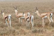 Успешность самцов газели cвязали с количеством паразитов в их организме