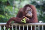 Орангутанов уличили в использовании резонаторов для устрашения хищников
