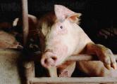 Минсельхозпрод: У свиней под Барановичами - «голубой аборт»