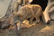Ученые описали диету первобытных охотников и их собак