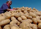 Белорусский картофель - абсолютный лидер по росту цен в ЕАЭС