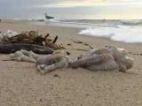На португальское побережье выбросило тысячи мертвых осьминогов