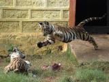 В Индии похитили переписчиков тигров