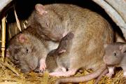 У крыс нашли способность видеть во сне любимые места