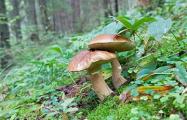 В лесу под Витебском нашли «двухэтажный» боровик