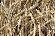 Намолот зерна в хозяйствах Беларуси достиг 6,5 млн.т
