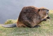 Латвия выступила против уничтожения бобров