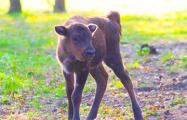 Минский зоопарк выбрал лучшее имя для недавно родившегося зубренка