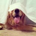 20 собак, которые думают, что хорошо спрятались