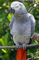 Жительница Щучина заплатила тысячу долларов за «бесплатного» попугая