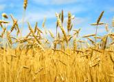 Цены на пшеницу достигли четырехлетнего минимума