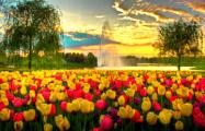 В Нидерландах фермеры косят тюльпанные поля, чтобы избежать скопления людей