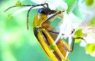 Минсельхозпрод: Опасный жук в Беларуси не обнаружен