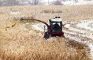 Русый: Подмерзшая кукуруза тоже нормальная