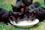 Ученые объяснили аккуратность кошек при питье