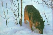 Бурые медведи в белорусских лесах начали залегать в спячку