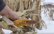 Фотофакт: Кукурузные подснежники на Витебщине