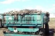 Бывшего директора птицефабрики в Буда-Кошелево, вывозившего мертвую птицу тракторами, подозревают в злоупотреблении властью