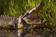 В Австралии нашли морозильник с головами крокодилов