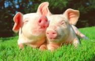 Жители Молодечно протестуют против свинокомплекса