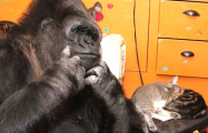 В США умерла единственная в мире говорящая горилла