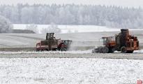 Фотофакт: под Новогрудком собирают урожай под снегом
