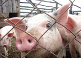 Массовый забой свиней под Минском?