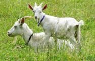 Под Гомелем неизвестные животные на глазах у хозяина загрызли стадо коз