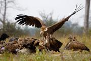 «Рестораны для грифов» увеличили популяцию птиц в Камбодже