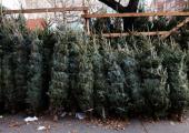 Перед Новым годом реализовано более 150 тысяч елок и сосен