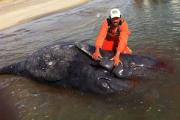 Экологи нашли сиамских близнецов серого кита