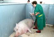Массовый падеж скота на свинокомплексе под Барановичами?