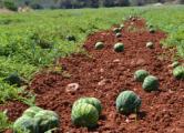 Для выращивания арбузов в Беларуси выделят 600 гектаров