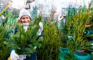 Где и за сколько минчане смогут купить новогоднюю елку