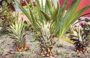 В Бресте на одной из центральных улиц растут ананасы