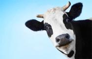 Маразм в законе - корова в яме