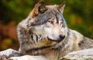 «Зямлi! Волi!»: Как пущанские волки с GPS-ошейниками ищут, где жить хорошо