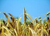 Хозяйства Витебской области первыми в Беларуси выполнили госзаказ на зерно