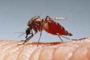 В Google задумались о разведении генетически модифицированных комаров