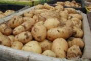Производство картофеля в Беларуси будут увеличивать