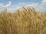 Валовой сбор зерна в бункерном весе в сельхозорганизациях Беларуси ученые оценивают в 7,8 млн.т