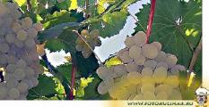 Лучшие сорта белорусского винограда можно будет попробовать на выставке в Гродно