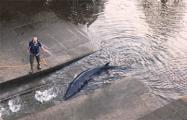 В Лондоне кит-полосатик застрял в Темзе