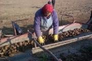 Казахстан заинтересован в крупных закупках белорусского картофеля