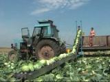 Уборка овощей в Беларуси завершится до конца октября
